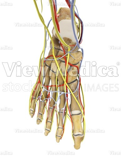 Viewmedica Stock Art Foot With Arteries Veins And Nerves Skeletal Dorsal View Facing Down