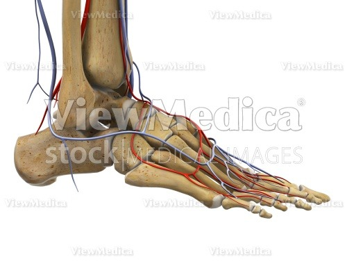 Viewmedica Stock Art Foot And Ankle With Arteries And Veins